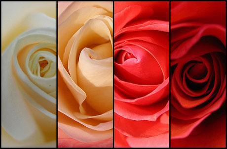 64+ Gambar Bunga Mawar Dan Kata Romantis Gratis Terbaru
