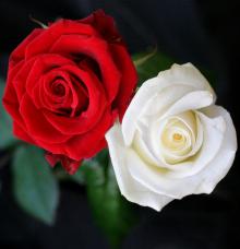 Wallpaper Bunga Mawar Putih Hd