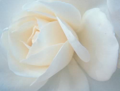 Delapan Makna di Balik Bunga Mawar